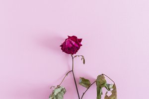 Dead Rose on a colored background