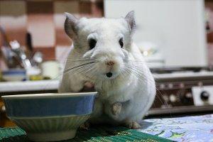 Cute fluffy white chinchilla