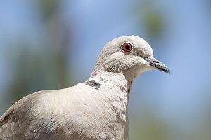 Close-up of a turtledove