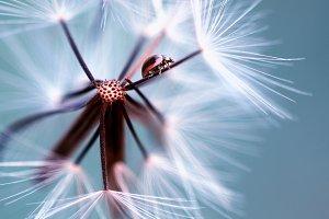 ladybug, dandelion, ladybird,