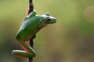 frogs, dumpy frogs, green tree frogs