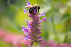 Bumblebee on Purple Flower