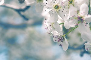 Spring Blossoms Photography Template
