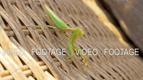 Praying Mantis On Wicker Chair Outdoor