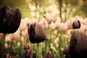 Unique black tulip flowers
