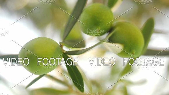 Tree Branch With Green Olives