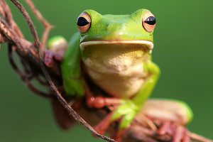frogs, dumpy frogs, white lip frogs
