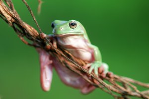 tree frogs, dumpy frogs,