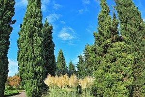Two slender cypress