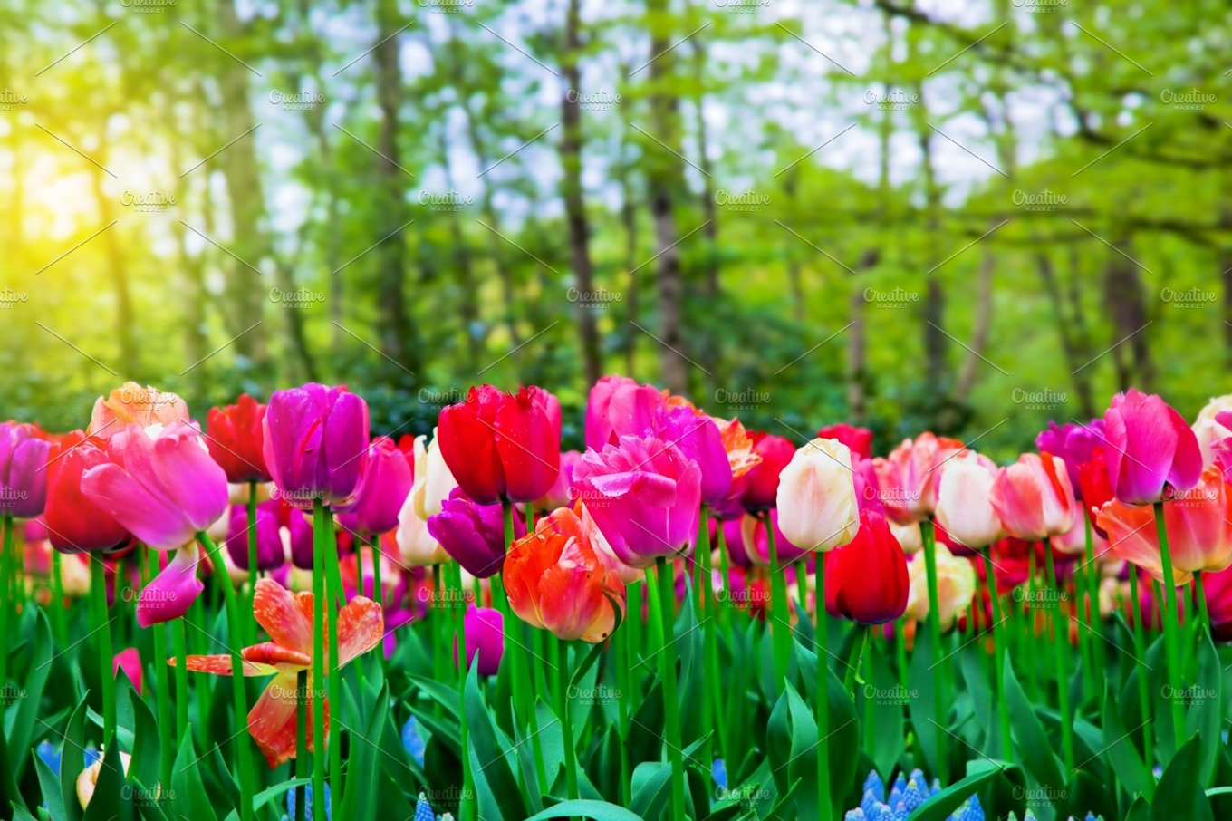 colorful tulip flowers - photo #19