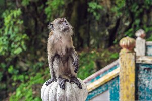 Monkey in Batu Caves, near Kuala Lumpur, Malaysia. Traveling with children concept