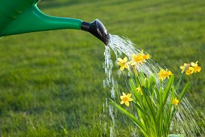 Watering the jonquil flowers