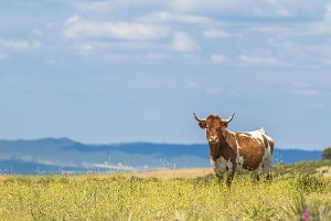Cow with horns in summer field with