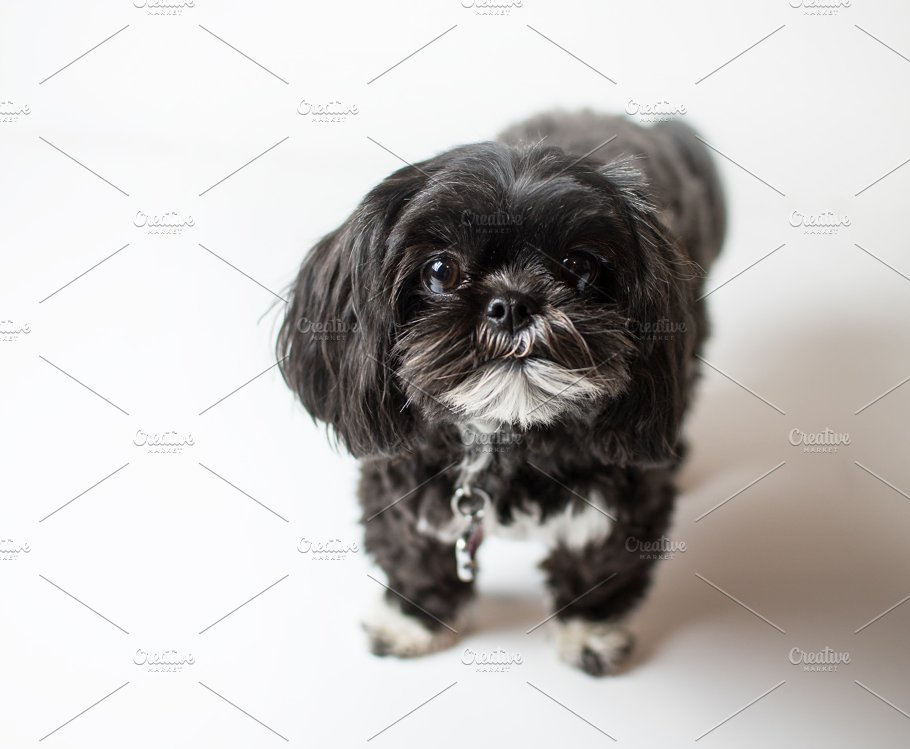 Adorable Miniature Shih Tzu Puppy Animal Photos Creative Market