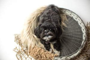 Adorable miniature shih tzu puppy