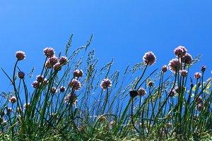 Summer field with silybum marianum