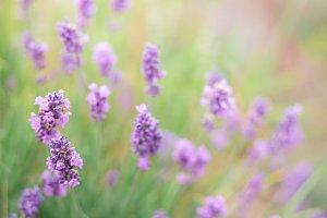 Bush of lavender