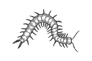 Scolopendra insect engraving vector illustration