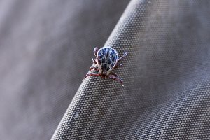 Ticks on clothes. Bloodsucking insect.