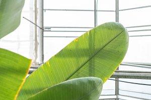 Banana Leaf in Green House