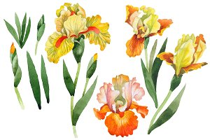 Yellow flower irises PNG watercolor