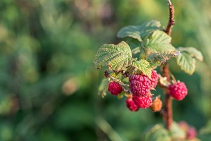 Raspberries Ready for Picking
