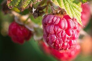 Organically Grown Raspberries