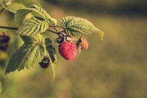 Ripe Organic Raspberry