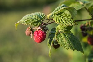Close View of Fresh Raspberries