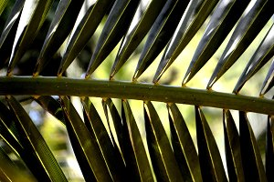 Palm leaves. Tropical tree. Close up