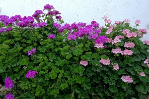 geraniums and white wall