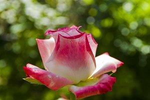 Flowering tender white and pink rose