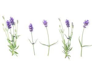 Lavender flowers Floral banner