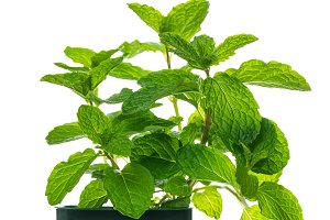 Growing Mint Isolated
