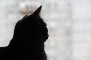 Black cat watching the raindrops on the glass