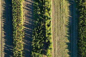 Aerial view rows of young tree seedlings on a spring sunny day. Photo from the drone