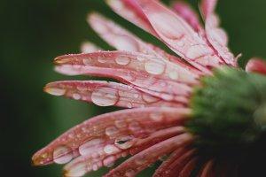 Pink Gerbera Daisy Closeup