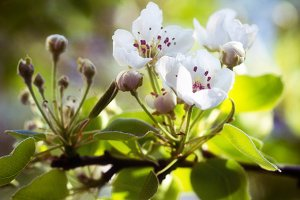 Blooming flowers on pear tree.