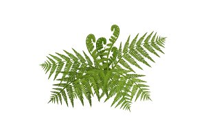 Bush of green wide open leaves of fern vector illustration