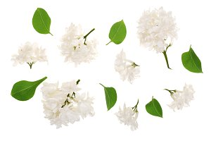 light lilac flowers, branches and leaves isolated on white background. Flat lay. Top view