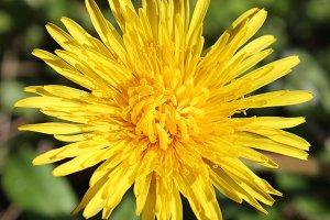 Dandelion Flower Close Up Yellow