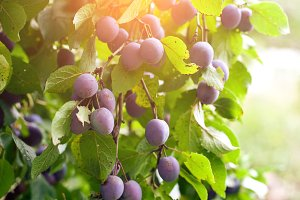 plum tree in overgrown garden