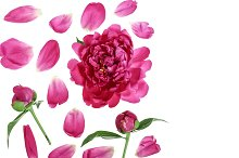 pink peony flower isolated on white background with copy space for your text. Top view. Flat lay pattern