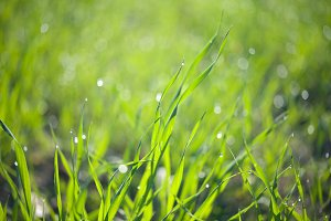Drops of dew on a green grass in the