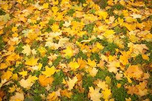 Fallen autumn leaves on grass in sunny morning light toned