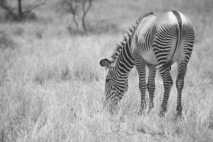 Grevy's zebra in Samburu National Pa