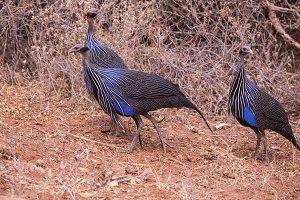 Guinea hen in Samburu National Park,