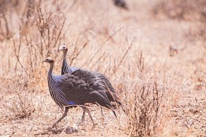 Guinea hen in Samburu National Park,