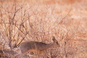 Impala antelope in Kenya Kenya