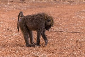 Baboon in Samburu National Park in K